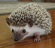 African Pygmy Hedgie