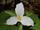 Duchy of White Trillium