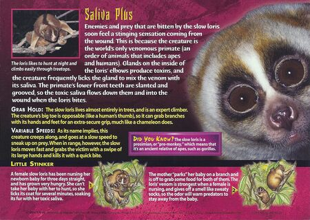 Slow Loris back