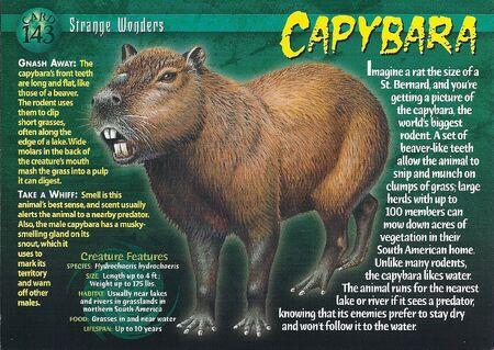 Capybara front