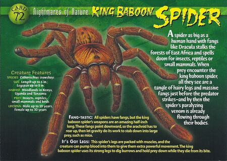 King Baboon Spider front