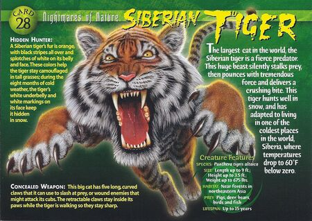 Siberian Tiger front