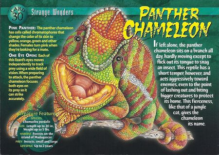 Panther Chameleon front