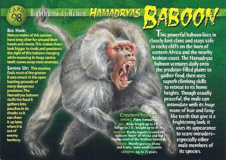 Hamadryas Baboon front