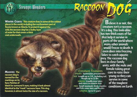 Raccoon Dog front