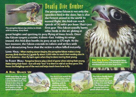 Peregrine Falcon back
