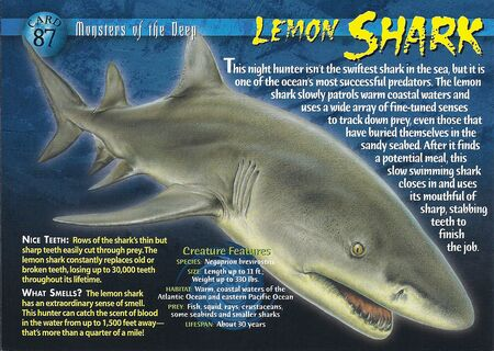 Lemon Shark front