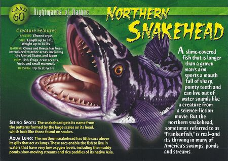 Northern Snakehead front