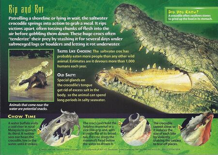 Saltwater Crocodile back