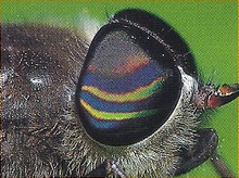 Horse Fly Back Image