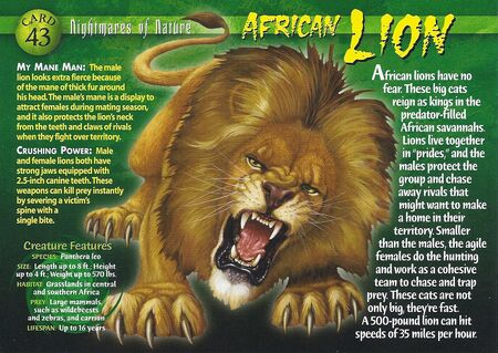 African Lion front