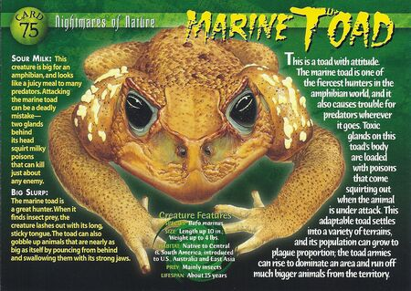 Marine Toad front
