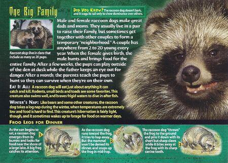 Raccoon Dog back