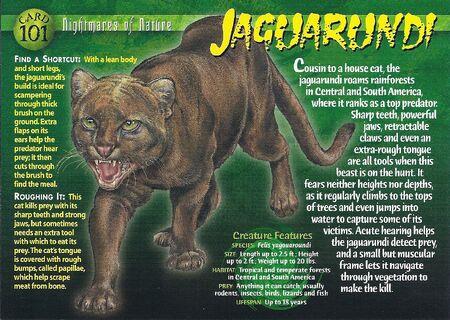 Jaguarundi front