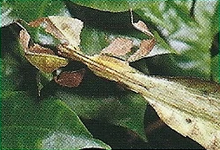 Leaf Insects Back Image