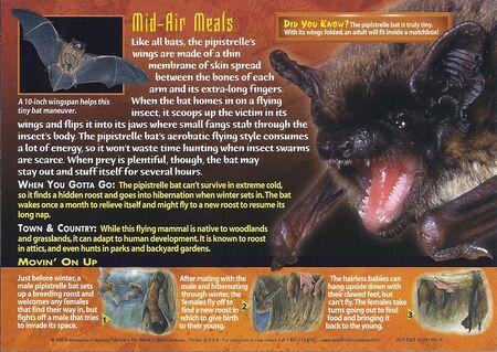 Pipistrelle Bat back