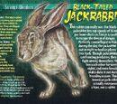 Black-Tailed Jackrabbit