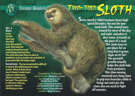 Two-Toed Sloth front