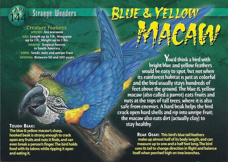 Blue & Yellow Macaw front