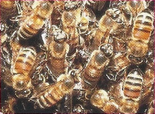 Killer Bee Back Image