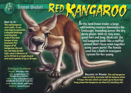 Red Kangaroo front