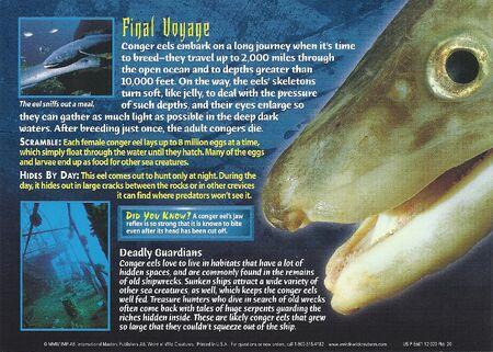 Conger Eel back