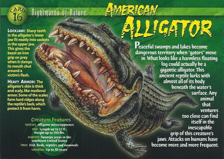 American Alligator front