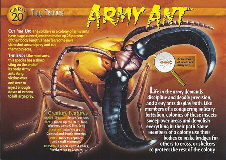 Army Ant front