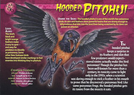 Hooded Pitohui front