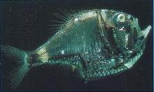 Hatchetfish Back Image