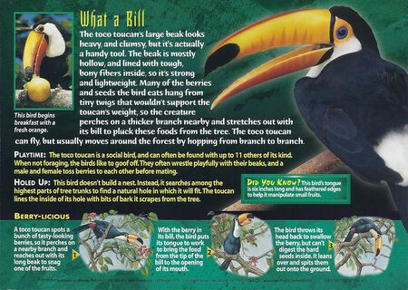 Toco Toucan back