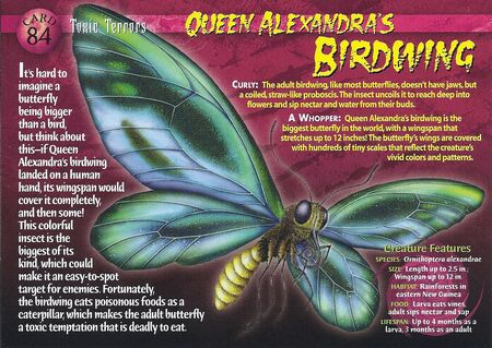 Queen Alexandra's Birdwing front