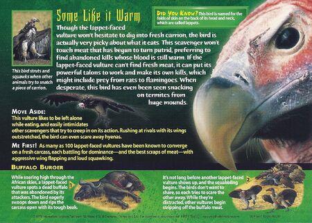 Lappet-Faced Vulture back