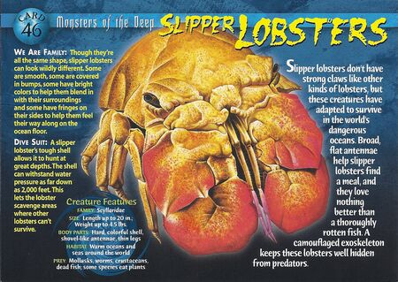 Slipper Lobsters front