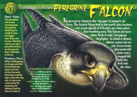 Peregrine Falcon front