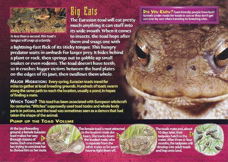 Eurasian Toad back