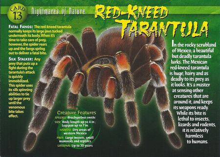 Red-Kneed Tarantula front