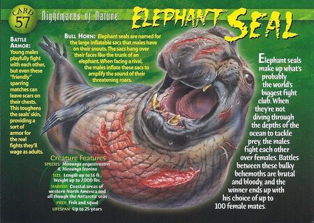 Elephant Seal front