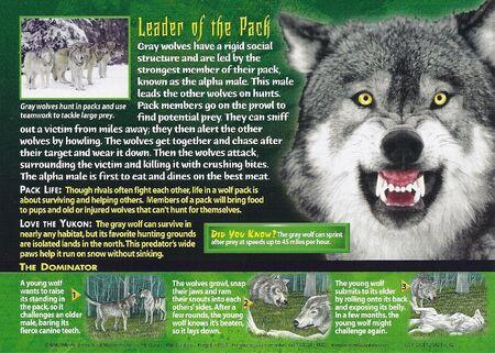 Gray Wolf back