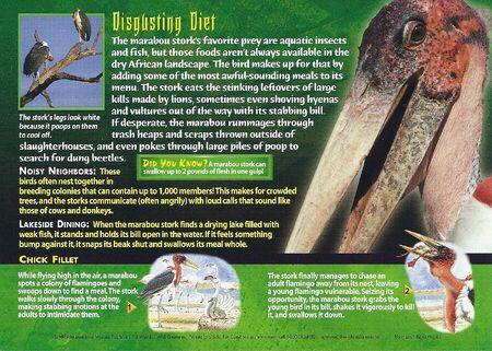 Marabou Stork back