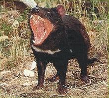 Tasmanian Devil Back Image