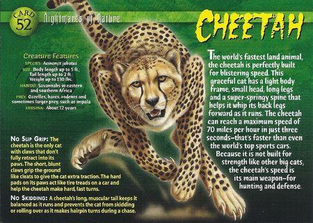 Cheetah front