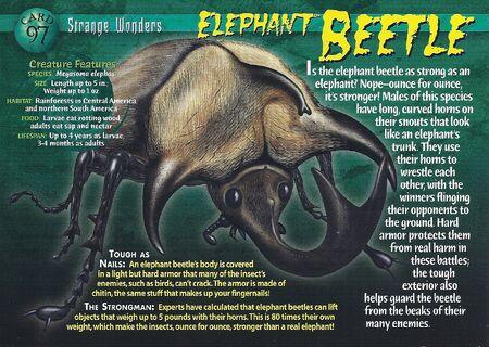 Elephant Beetle front