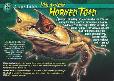 Malaysian Horned Toad front