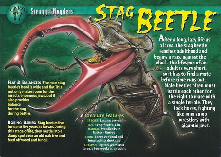 Stag Beetle front
