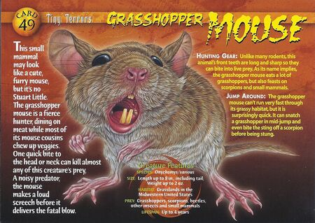 Grasshopper Mouse front