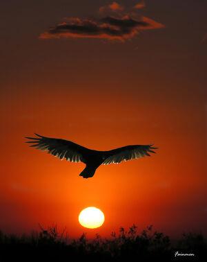 Condor en el Amanecer