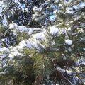 Sosna pod śniegiem