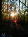 Słońce wśród drzew