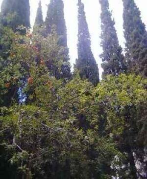 Granatowce i cyprysy